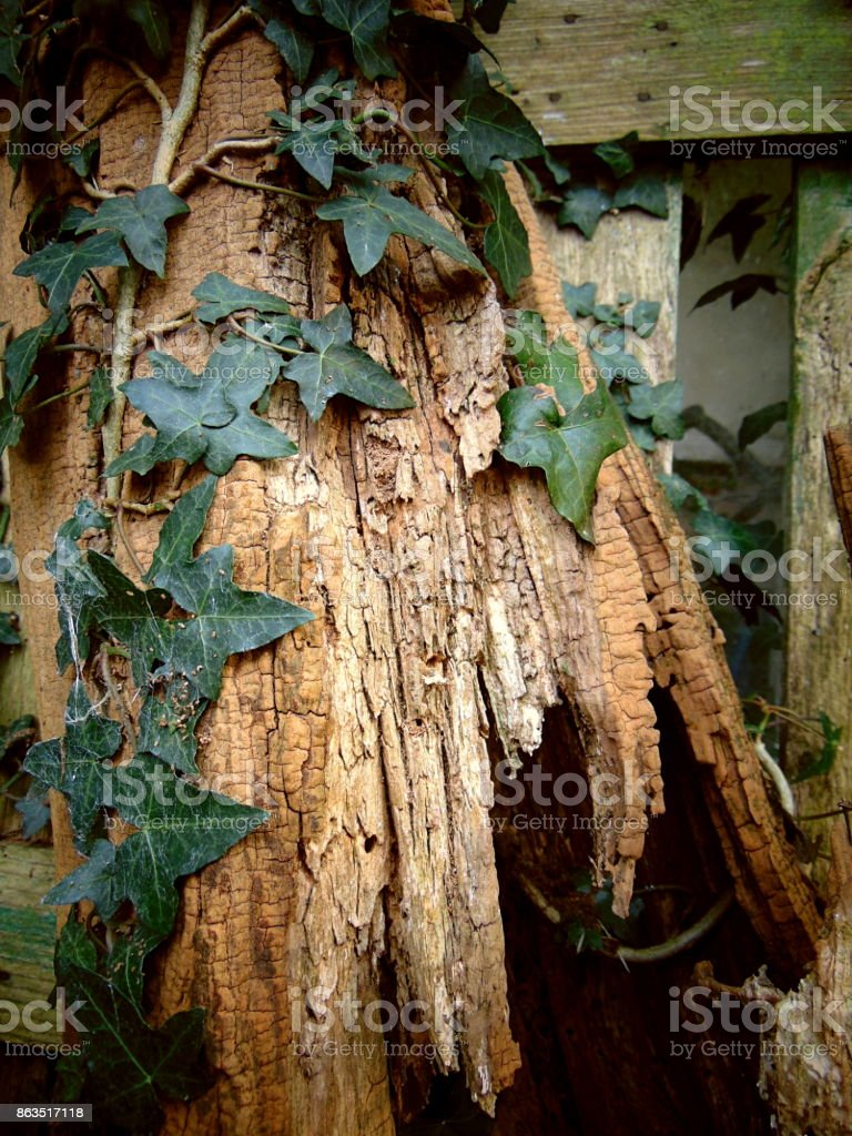 Ivy climbing on an old tree with cracked texture stock photo