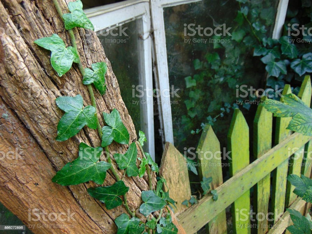 Ivy climbing on an old tree with moss covered fence stock photo