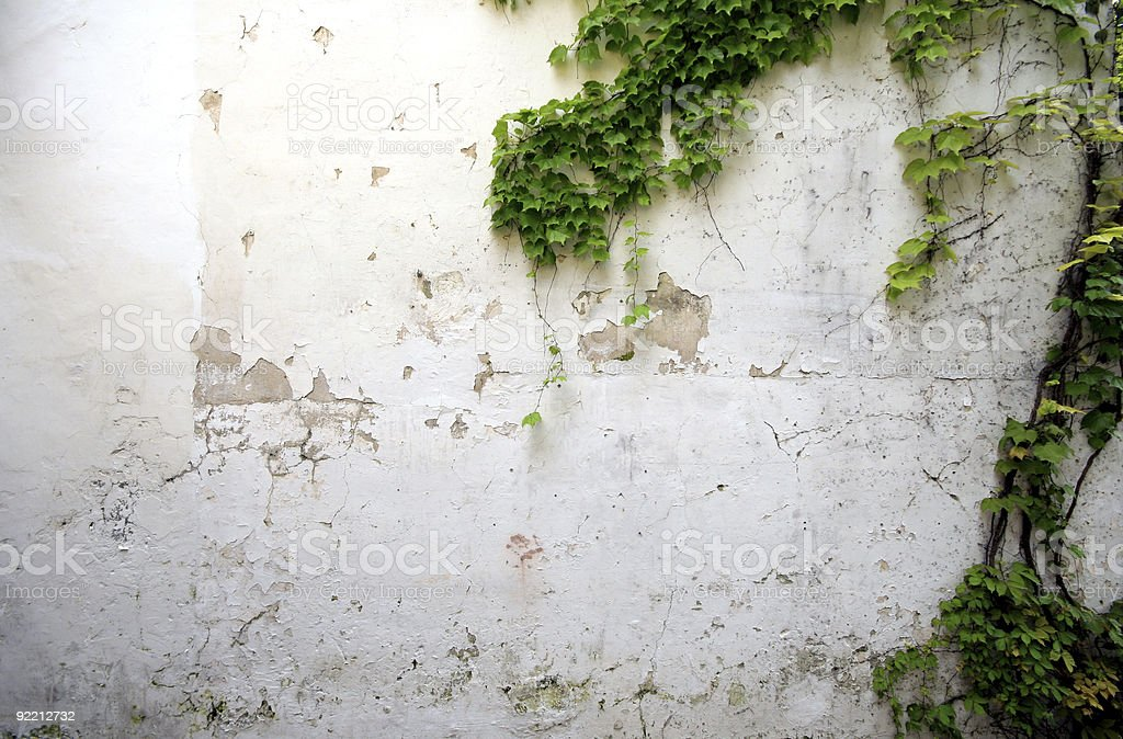 Ivy climbing on grungy wall royalty-free stock photo