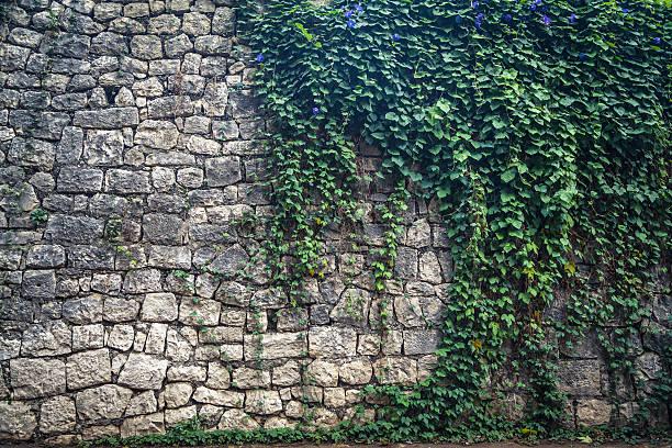 ivy na parede de escalada - ivy building imagens e fotografias de stock
