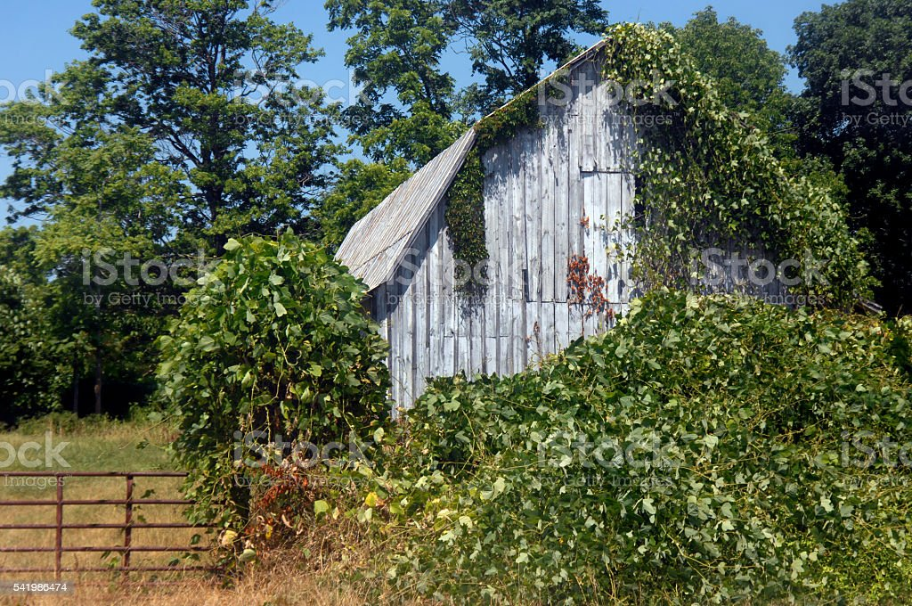 Ivy covered Barn stock photo