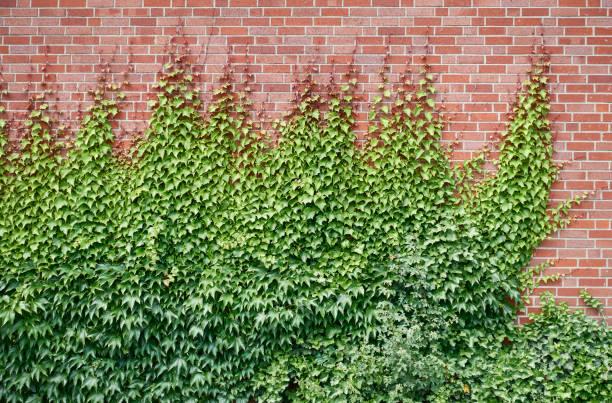 Ivy covered brick wall stock photo