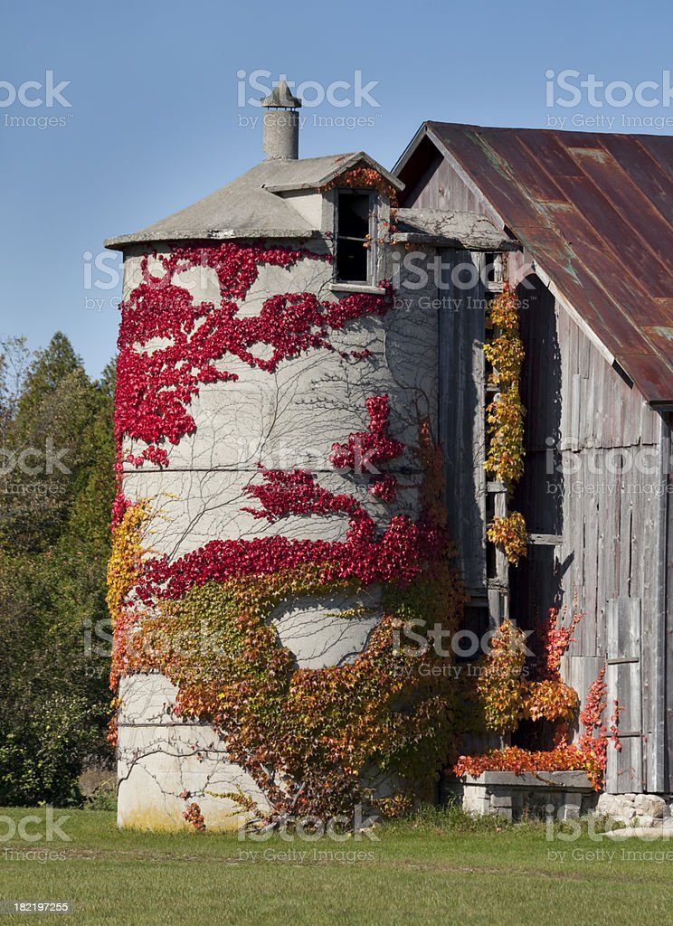 Ivy Covered Silo With Amazing Fall Colors royalty-free stock photo