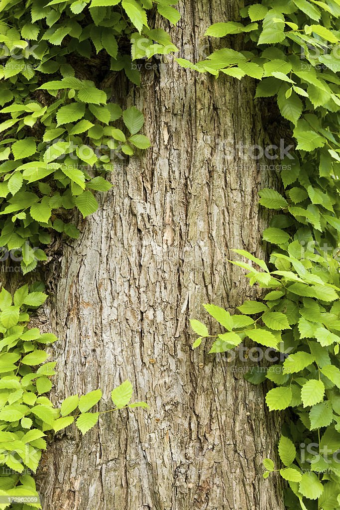 Ivy covered tree trunk royalty-free stock photo