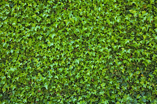 Ivy Covered Wall stock photo