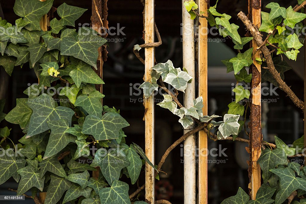 Ivy entangled with metal foto stock royalty-free