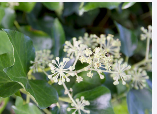 ivy flowering (hedera helix) - stamen stock photos and pictures