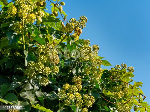Ivy leaves and flowers with a few wild hops rambling over a hedge in rural Norfolk, Eastern England, on a sunny day in September, with a vivid blue sky.