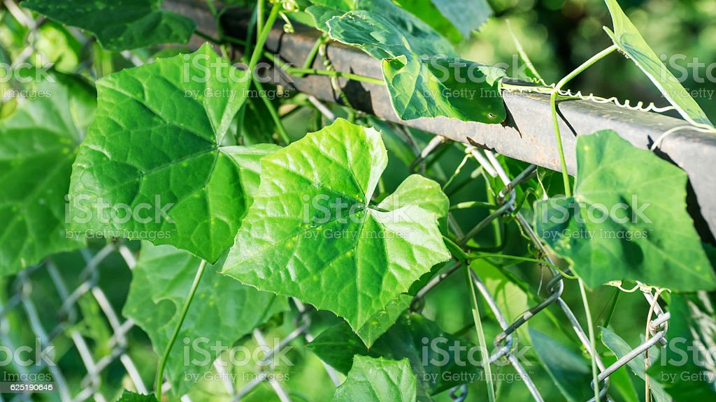 Ivy gourd plants on a fence. stock photo
