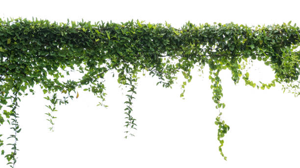 Ivy green with leaf on isolate white background - foto stock