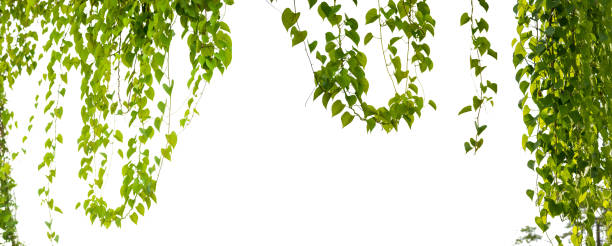 Ivy green with leaf on isolate white - foto stock