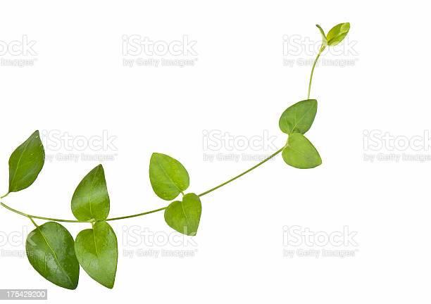 Ivy growing natural picture id175429200?b=1&k=6&m=175429200&s=612x612&h=9ujx8v2fcpjbjkasxfr0cq1fhbizlvluhqu32 5fnhq=