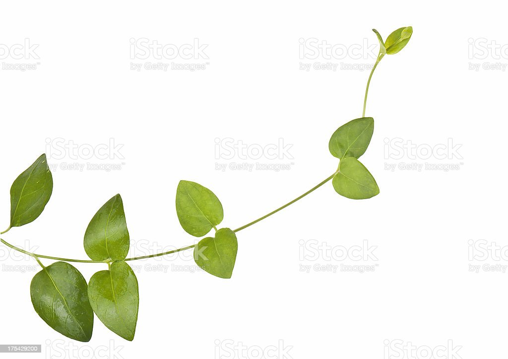 ivy growing natural stock photo