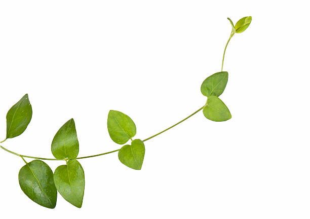 ivy crescimento natural - foto de acervo