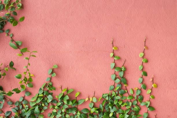 ivy growing on a pink wall - ivy building imagens e fotografias de stock
