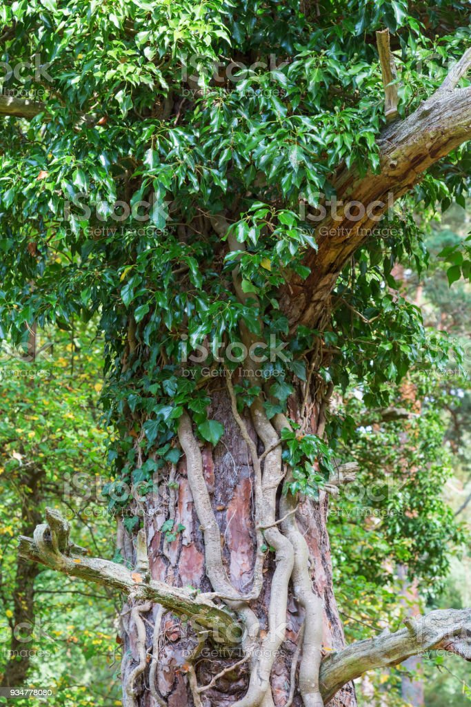 Ivy growing on a tree trunk stock photo
