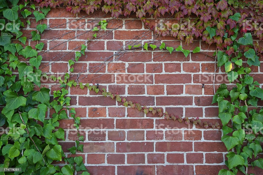 Ivy growing up a brick wall stock photo