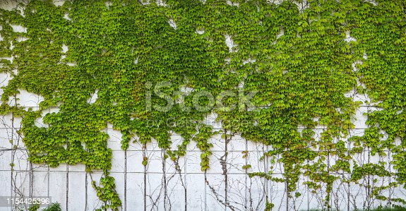 Ivy growing up wall