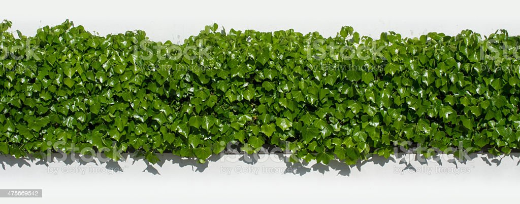 green ivy hedge infornt and behind white wall outside in the sunshine...