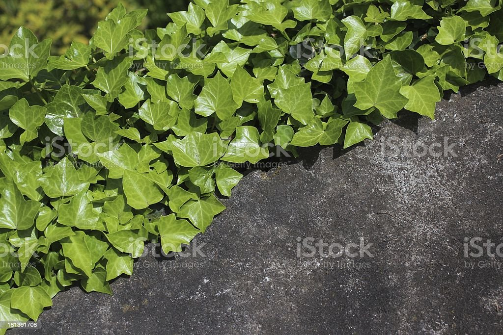 Ivy in Garden stock photo