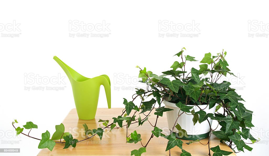Ivy in pot and green watering can royalty-free stock photo