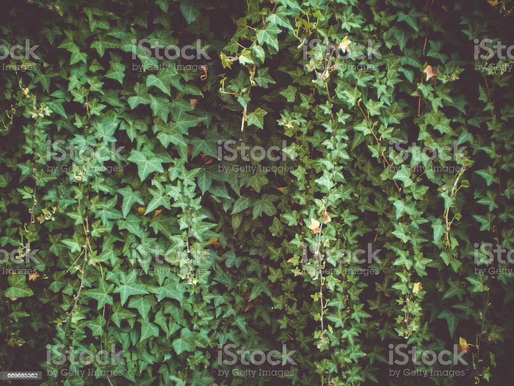 Ivy in soft shade stock photo