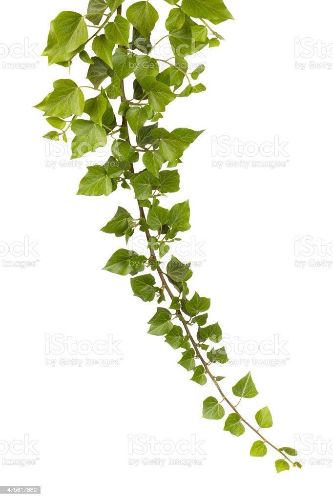 Ivy isolated on white stock photo