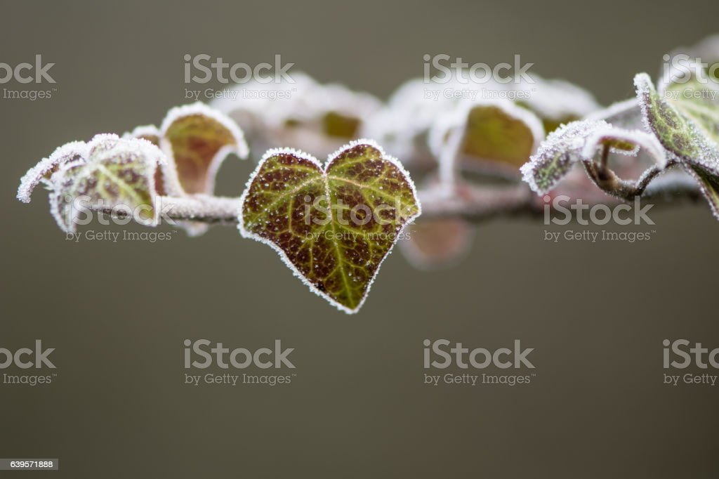Ivy (Hedera helix) leaf covered with frost stock photo