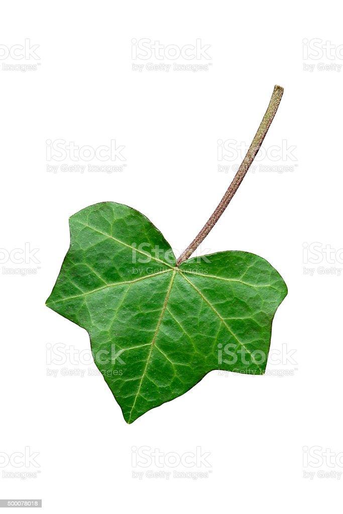 Ivy leaf isolated on white stock photo