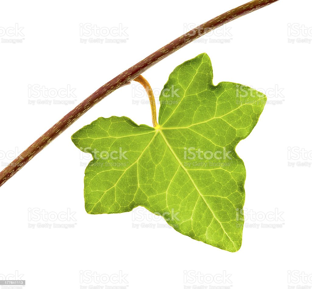 Ivy leaf royalty-free stock photo