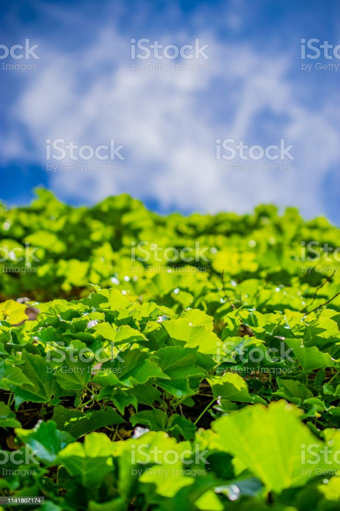 ivy leaf wall and sky stock photo