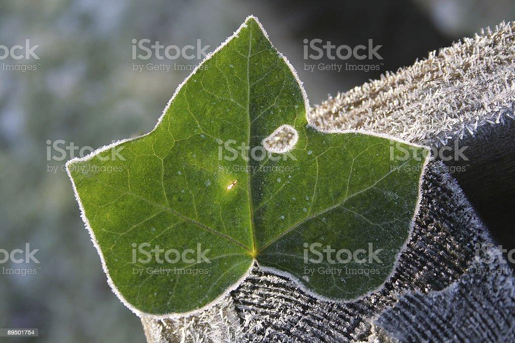 Ivy srystals feuille avec de la glace en hiver. photo libre de droits