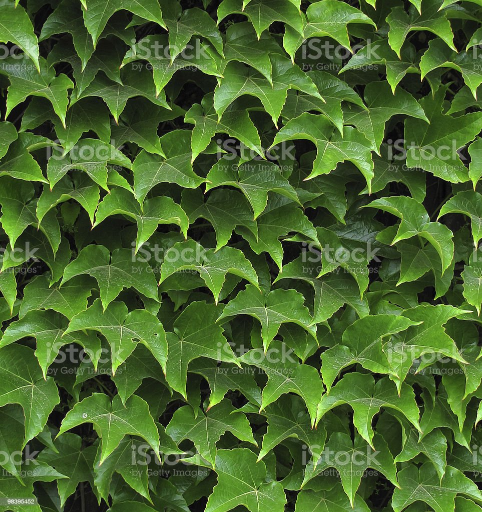ivy leafs royalty-free stock photo