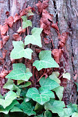 Ivy leaves and dry branches on a background of tree bark. Tree trunk bound by ivy vine.