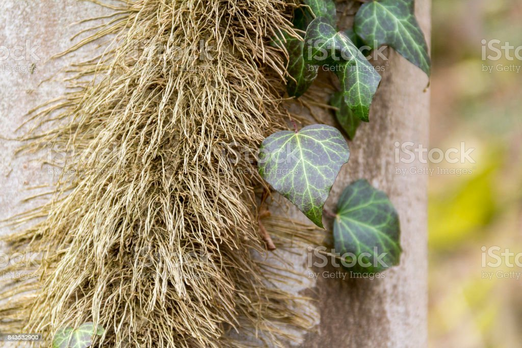 ivy leaves and stem stock photo
