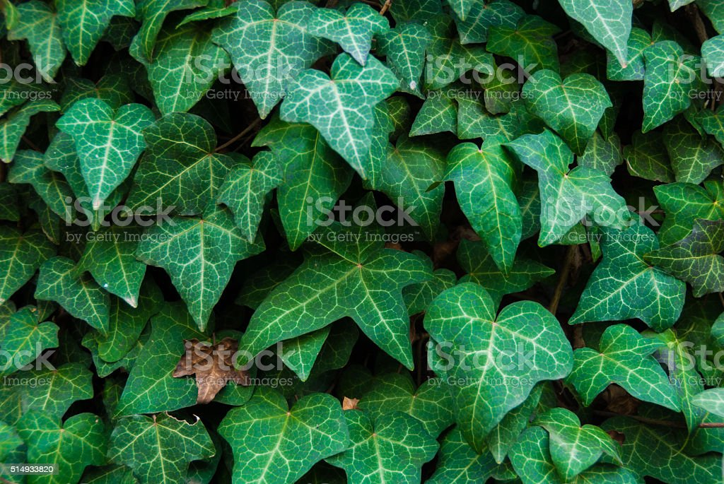 Ivy leaves background stock photo