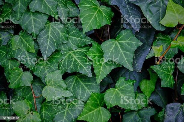 Ivy leaves background picture id637649478?b=1&k=6&m=637649478&s=612x612&h=ixgaa0nxlxbbemyjnx eljhgud4kkjqvhufiiwo527u=