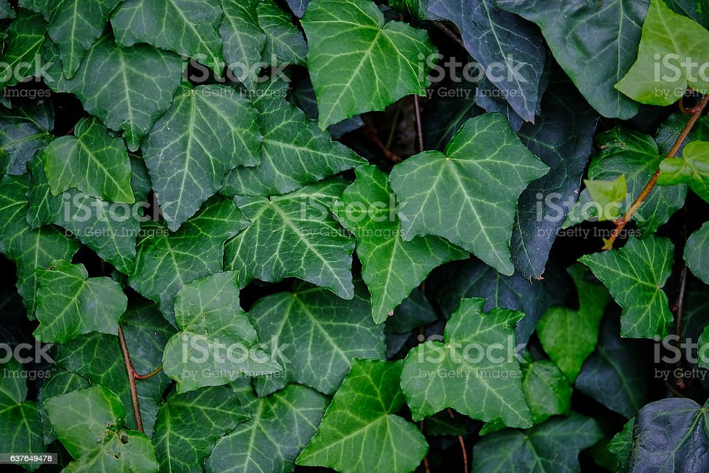 Ivy leaves - background stock photo