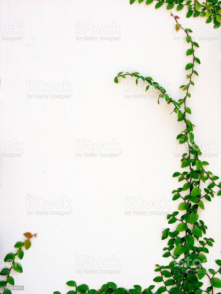 Ivy leaves border against white background stock photo