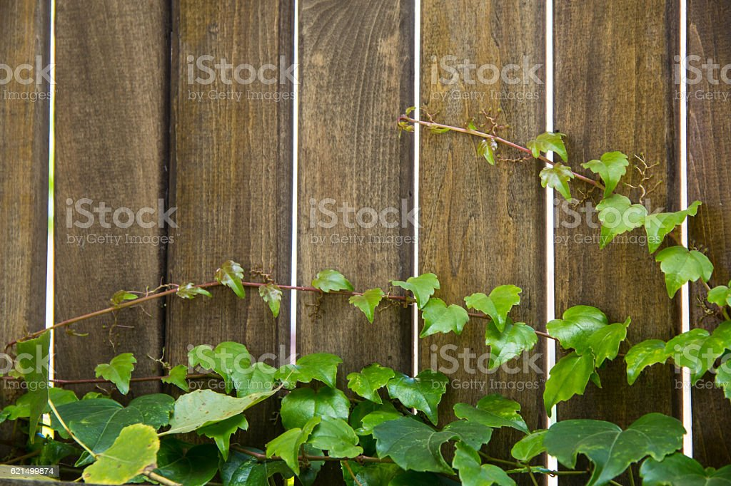 Ivy leaves draped over a bright wooden wall. Lizenzfreies stock-foto