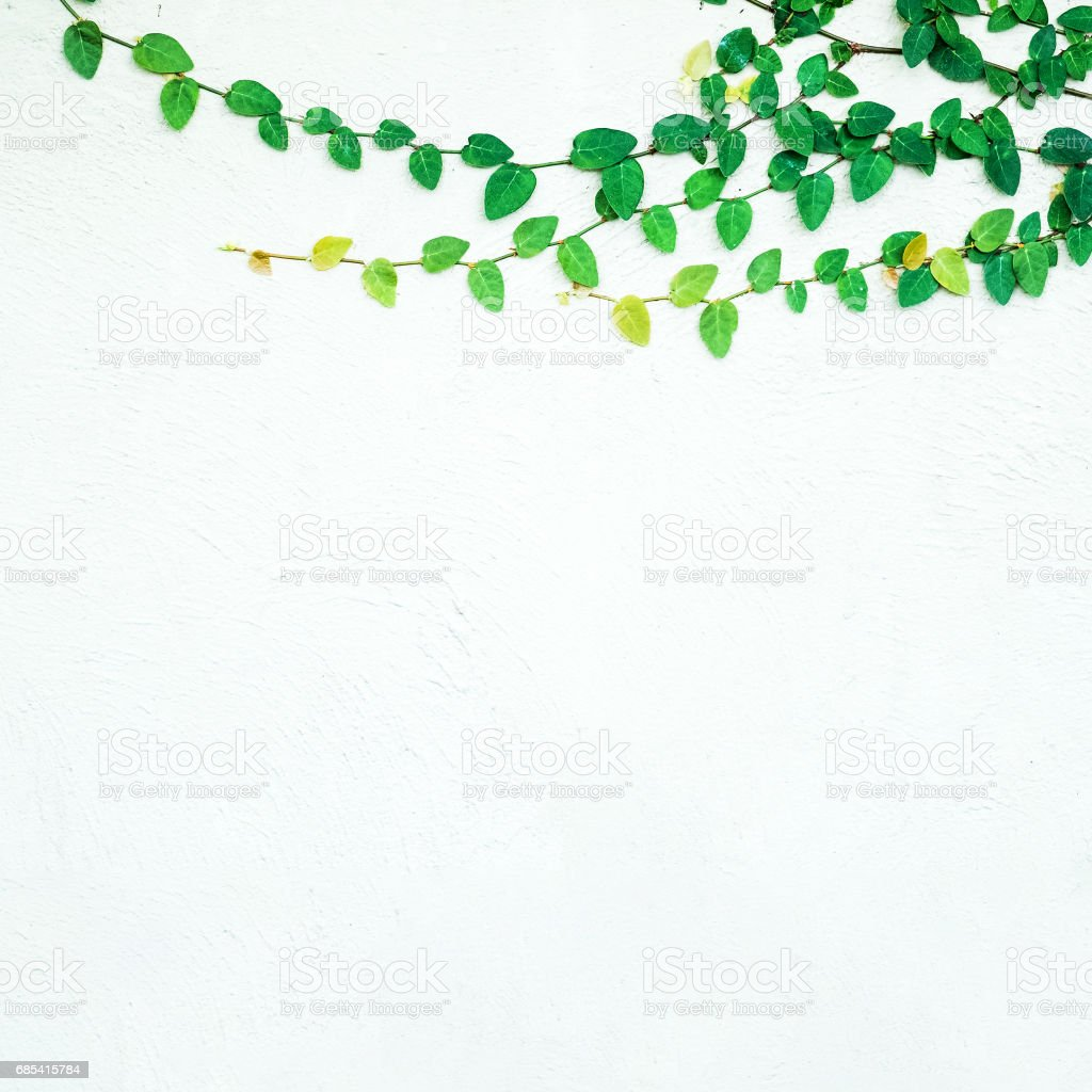 ivy leaves isolated on a white background foto de stock royalty-free