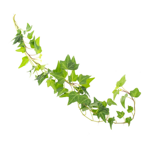 ivy leaves isolated on white stock photo