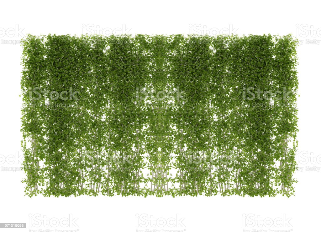 ivy leaves isolated stock photo