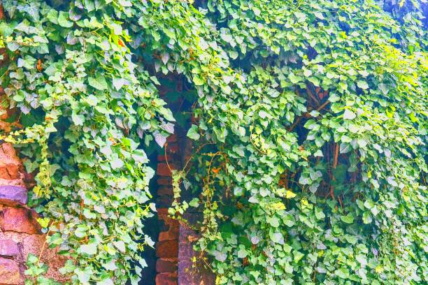 Ivy leaves on brick wall stock photo