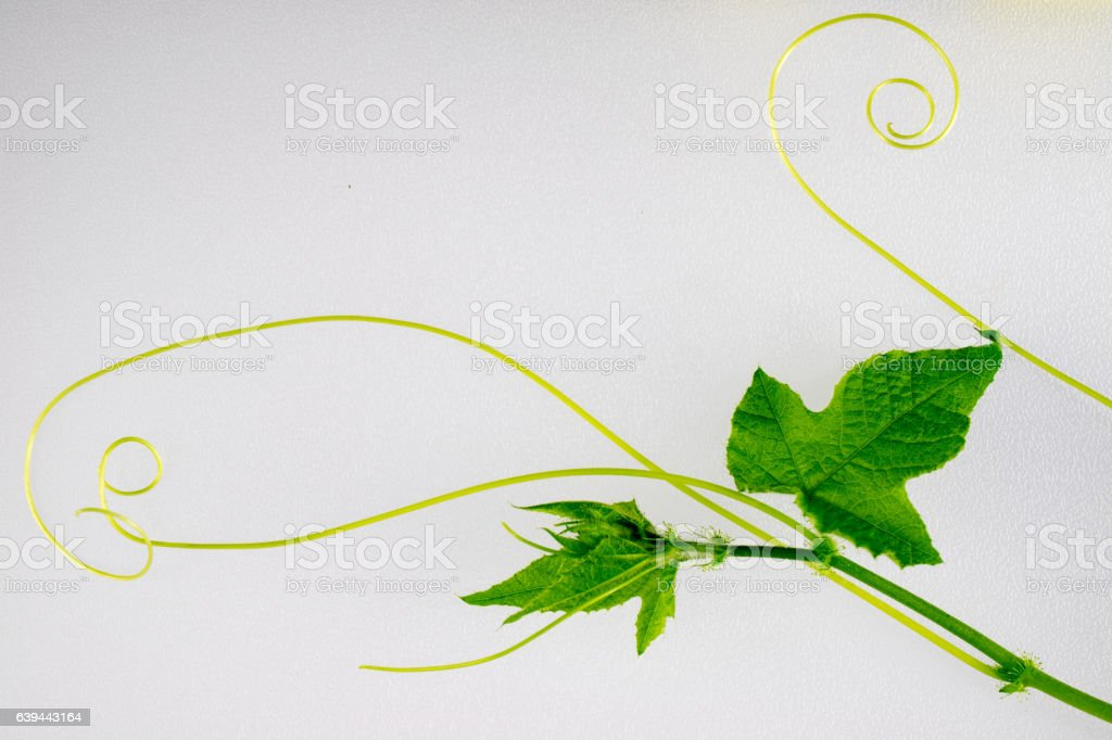 ivy leaves on wall background stock photo