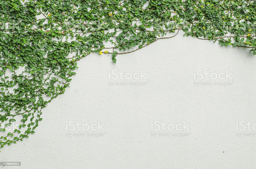 ivy leaves on wall royalty-free stock photo