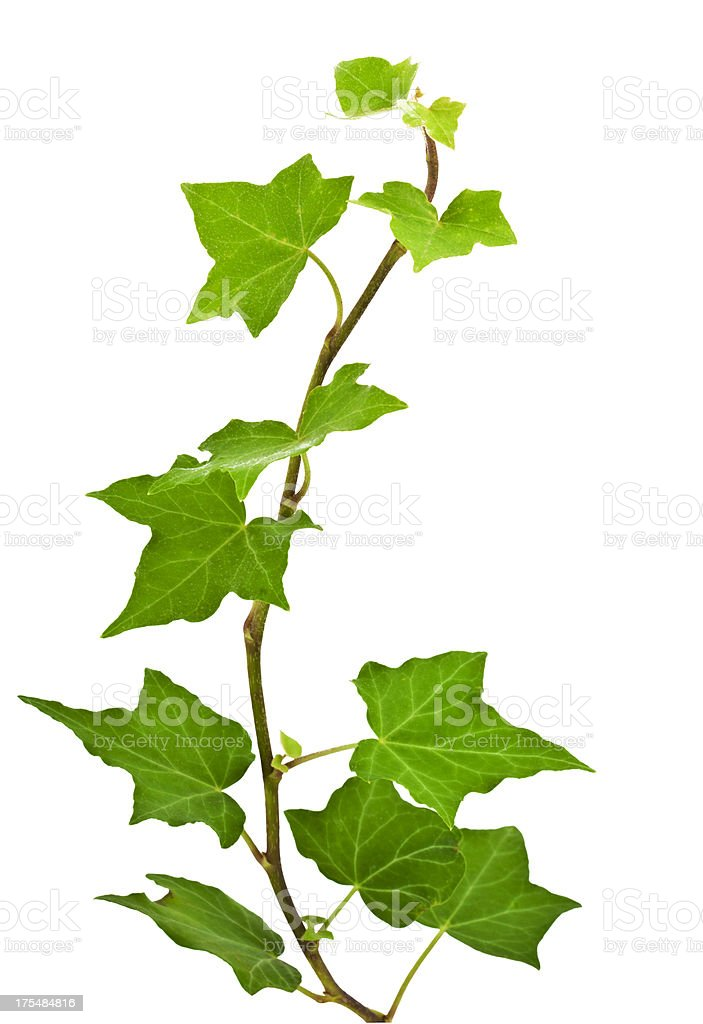 ivy leaves royalty-free stock photo