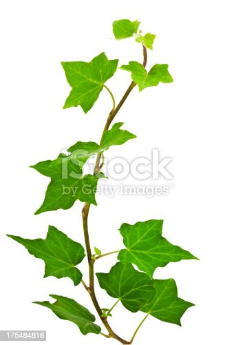 Of green ivy plant isolated against a white background digital illustration. Ivy leaves are concentrated in the middle of the picture, then it becomes more sparse root climbs up on top of the frame. Ivy curls on the vertical image.