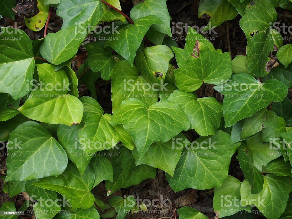 Ivy leaves plant growth stock photo