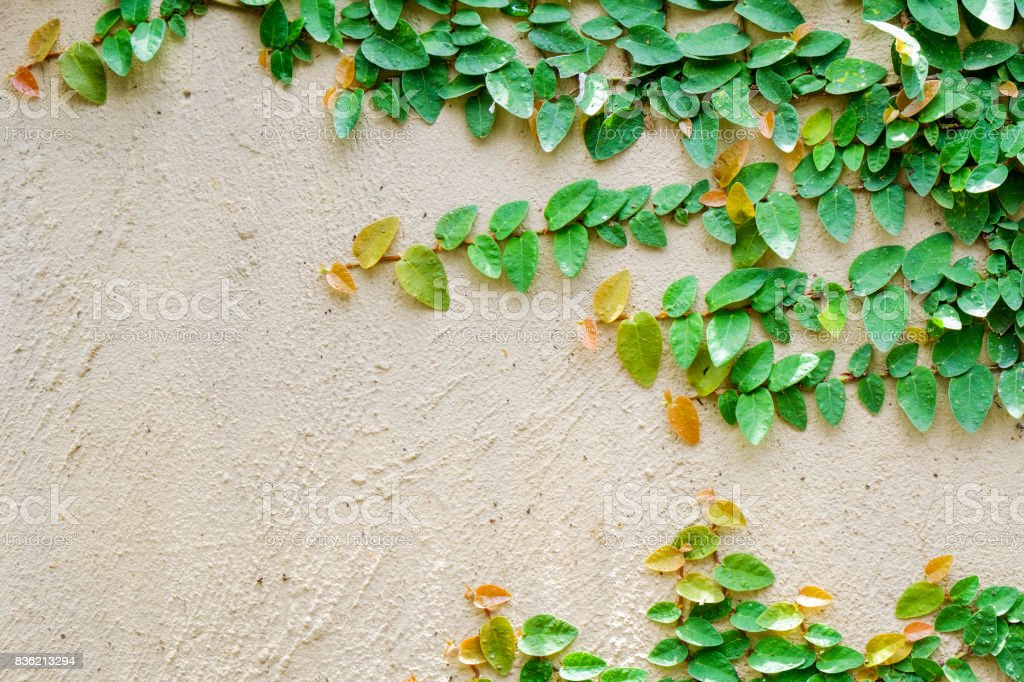 Ivy leaves the island on a brick wall  background. stock photo